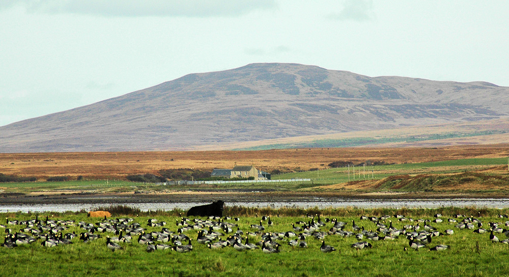 Picture of Barnacle Geese in a field with some cattle, a farm house in the background behind a loch