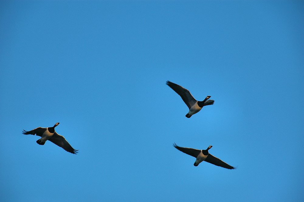 Picture of three Barnacle Geese flying overhead