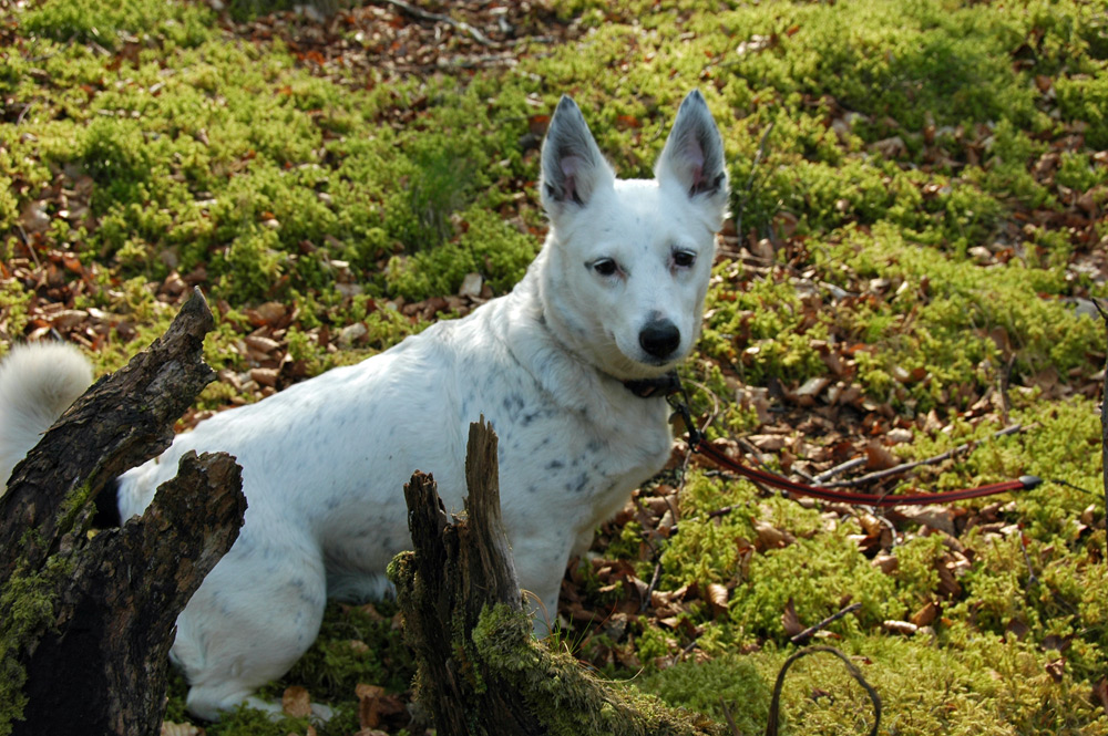Picture of a white dog on mossy ground in some woods