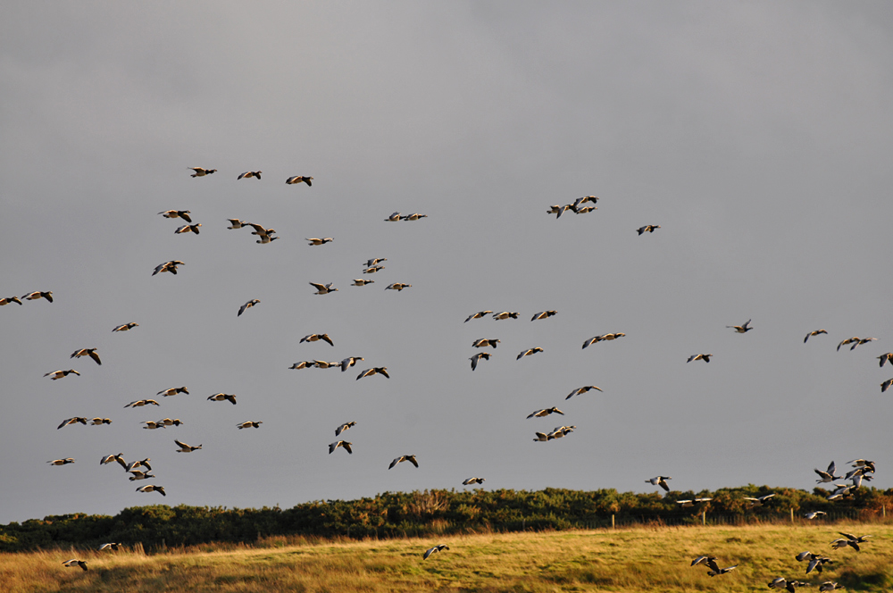 Picture of a number of Barnacle Geese in flight over a field