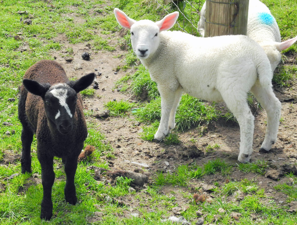 Picture of a black and a white lamb