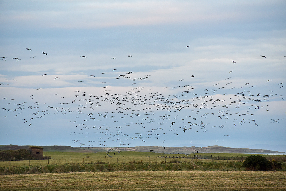 Picture of Barnacle Geese landing near a bird hide