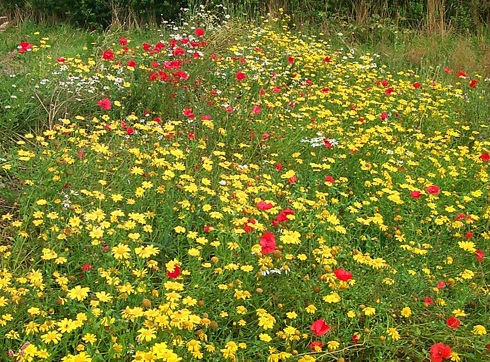 Picture of a flower meadow with red, yellow and white flowers