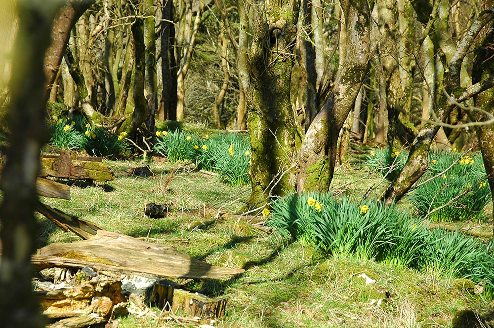 Picture of Daffodils in a woodland on a sunny day