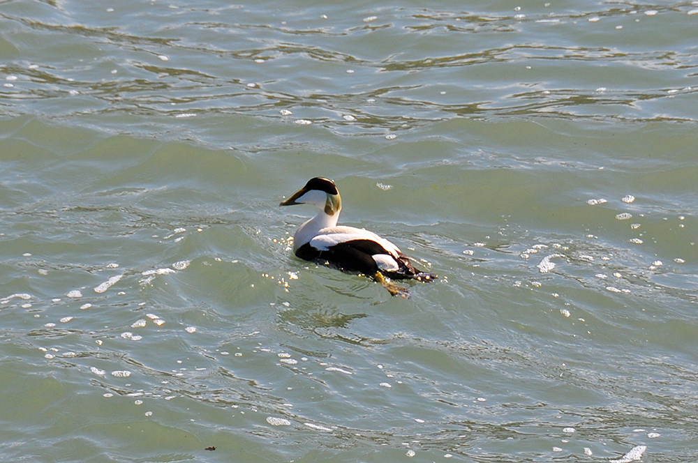 Picture of an Eider Duck in small waves