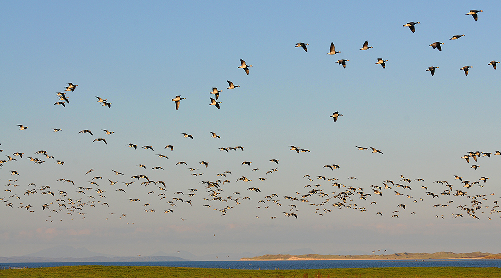 Picture of Barnacle Geese in flight over a sea loch with dunes in the distance