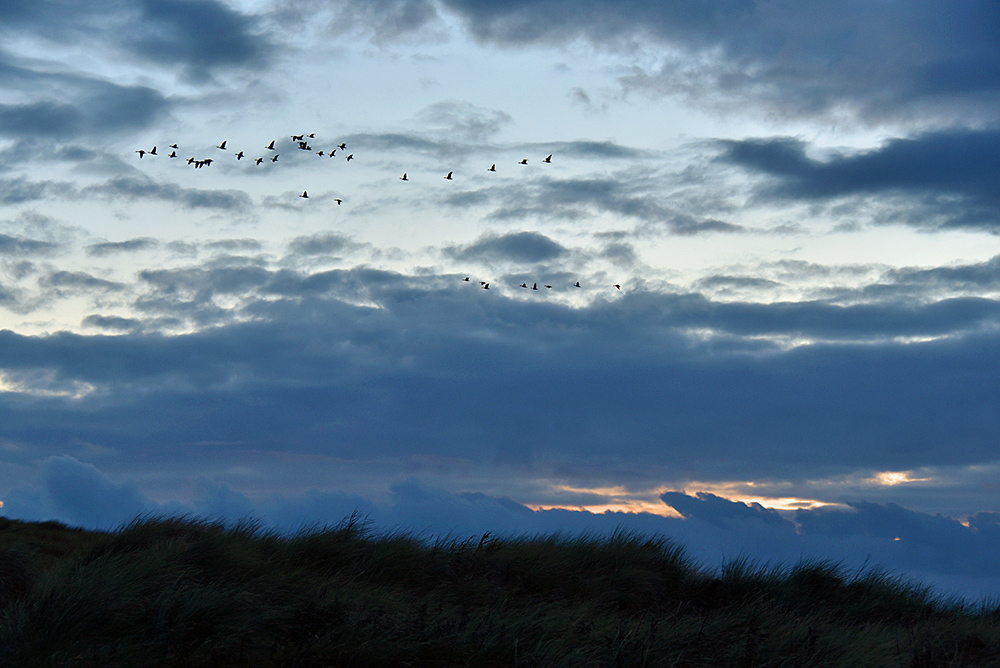 Picture of a flock of Geese in flight over dunes in the last evening light
