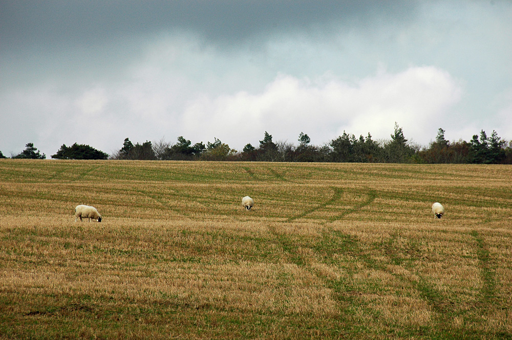 Picture of three sheep grazing on a field