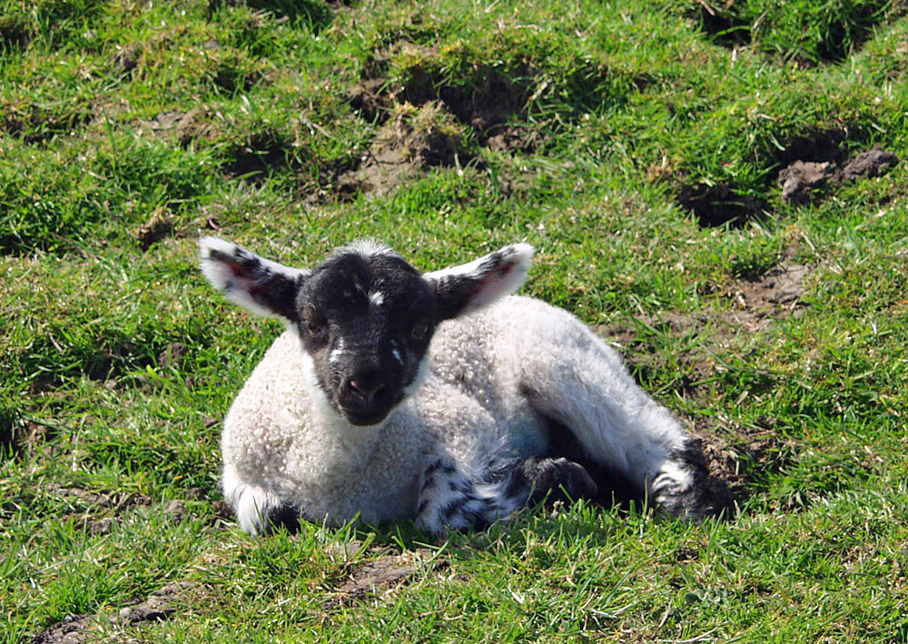 Picture of a lamb lying in grass