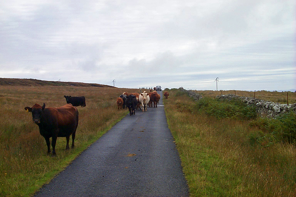 Picture of cattle blocking a single track road