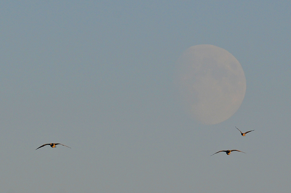 Picture of three Barnacle Geese in flight with a faint Moon in the background