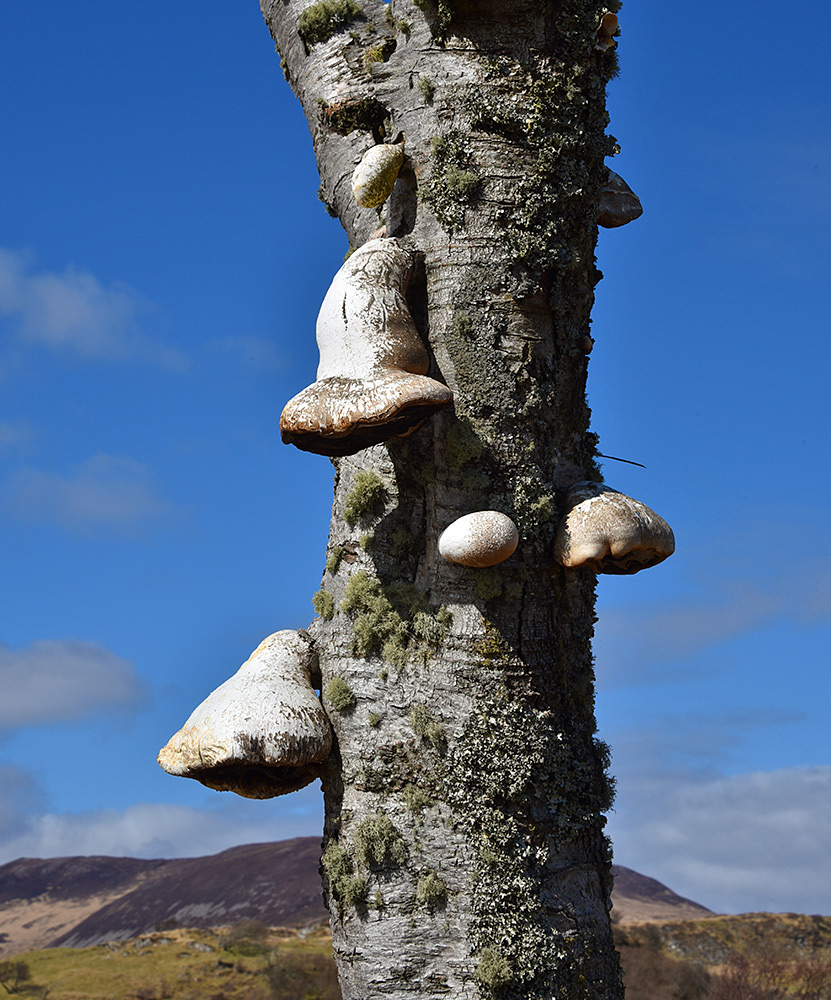 Picture of some fairly large fungi growing on a tree