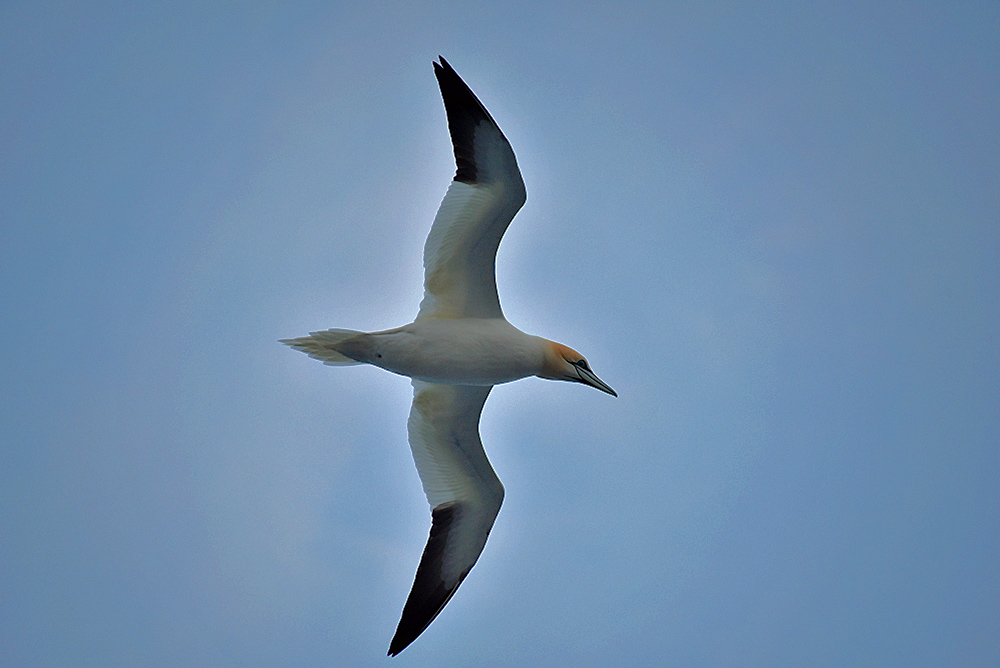 Picture of a Gannet bird in flight