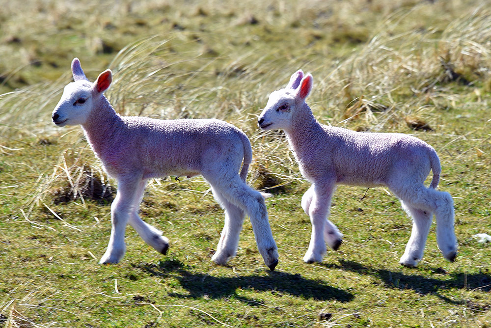 Picture of two young lambs in dunes on a sunny day