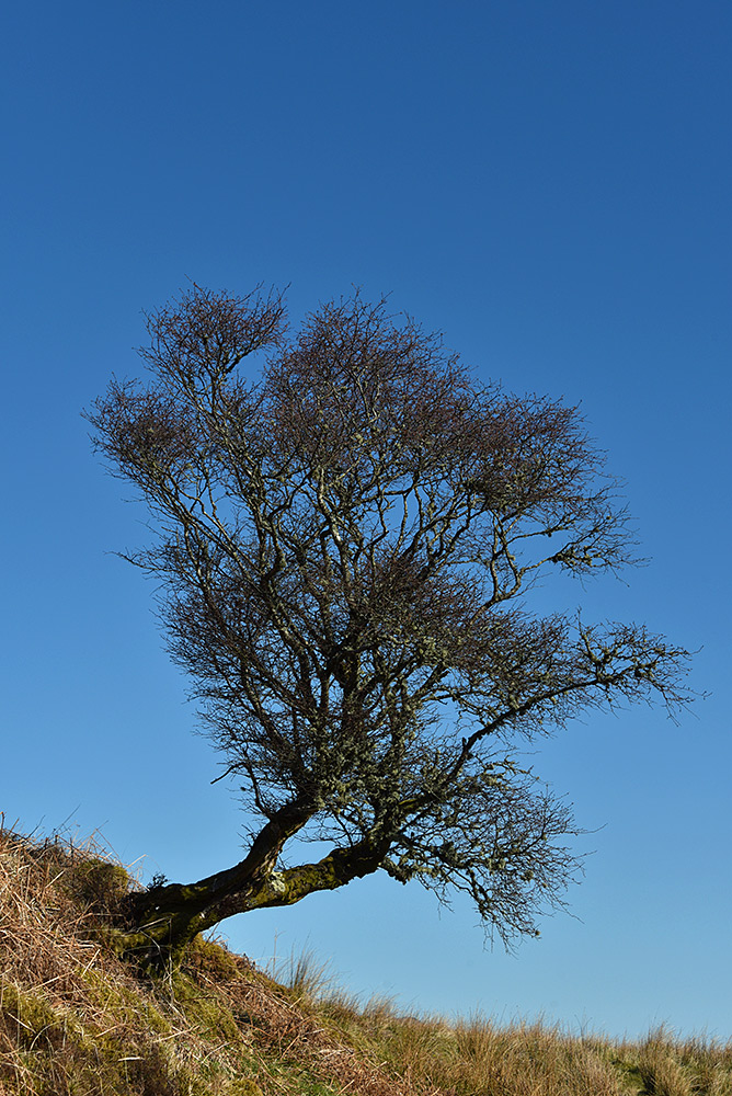 Picture of a tree growing sideways on a hillside before growing upwards