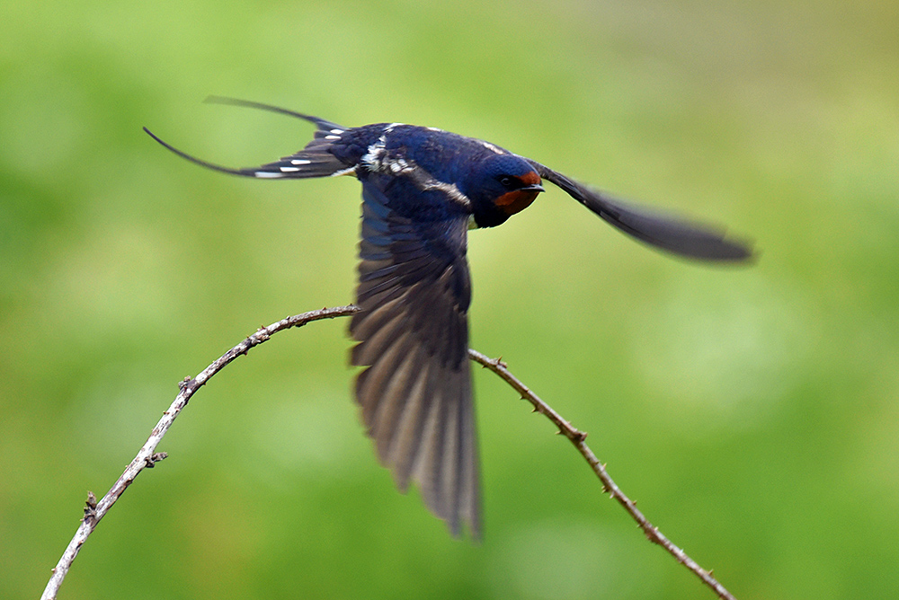Picture of a Swallow taking off from a small branch