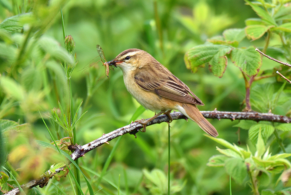 Picture of a Sedge Warbler sitting on a branch, an insect in its beak