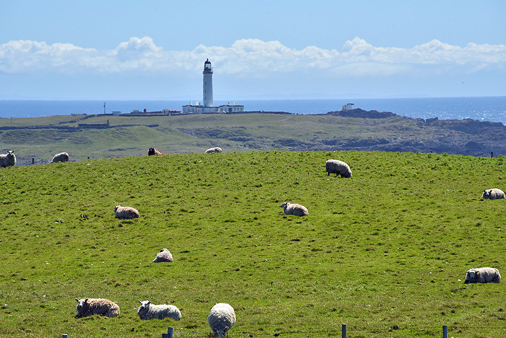 Picture of a tall lighthouse seen behind a field with sheep