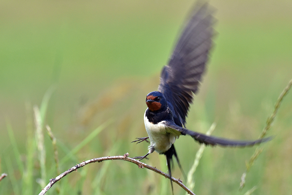 Picture of a Swallow flying off a small branch