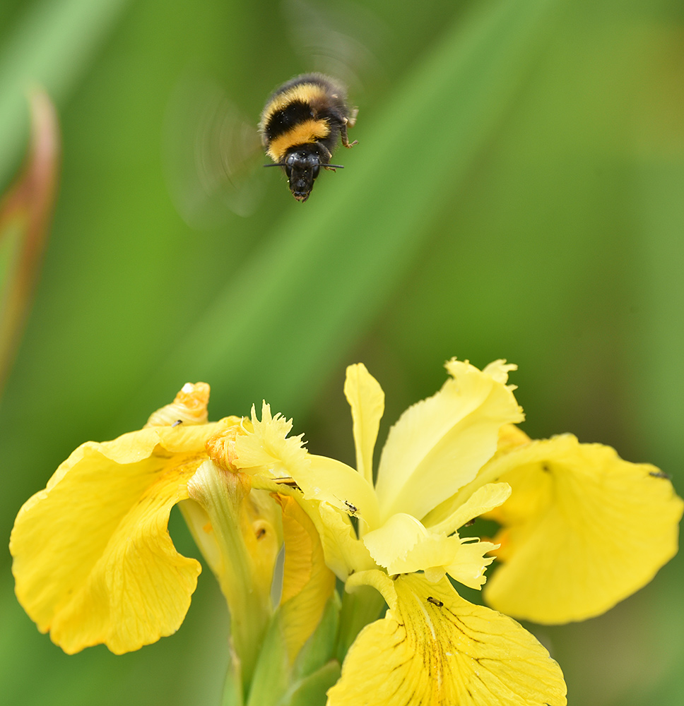 Picture of a Bumblebee flying over a Yellow Flag Iris flower