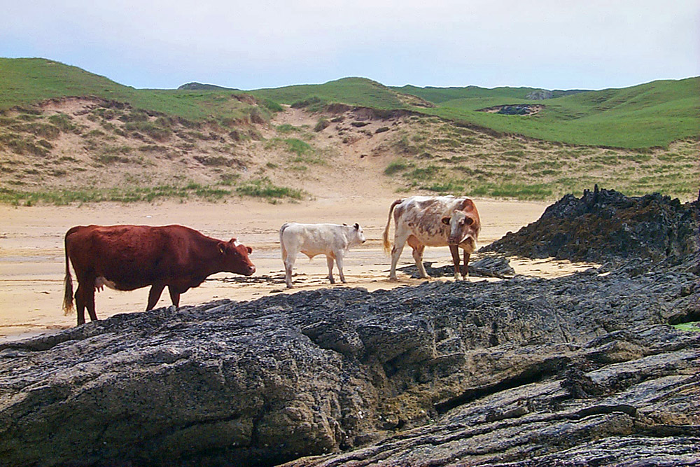 Picture of three cows on a beach, dunes in the background
