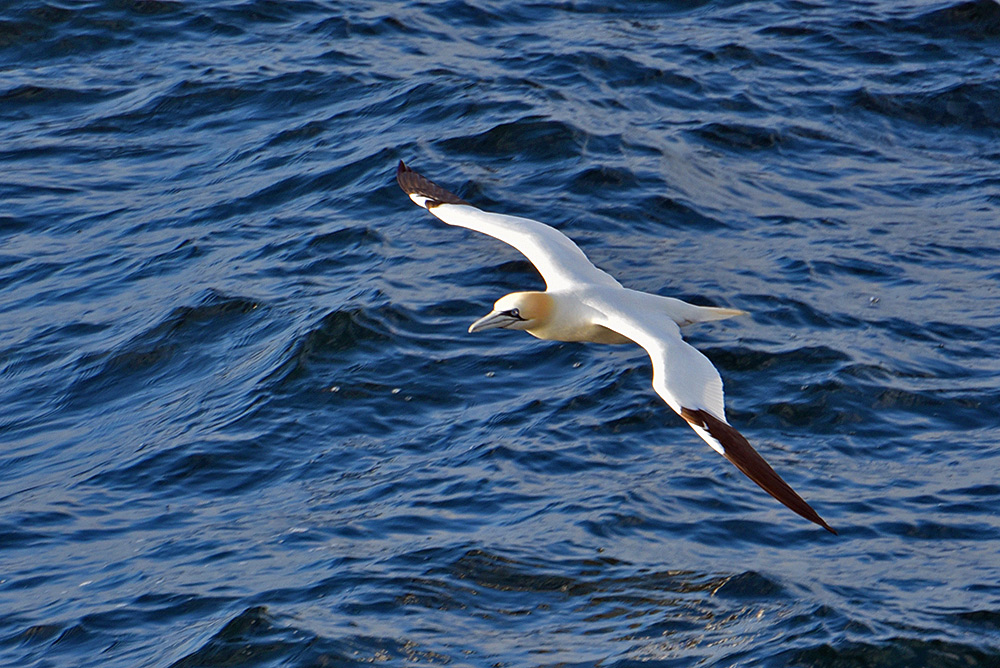 Picture of a Gannet flying low above the water