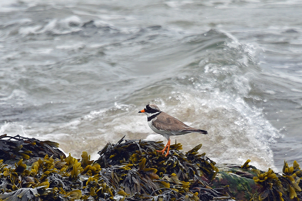 Picture of a ringed plover on rocks overgrown with seaweed