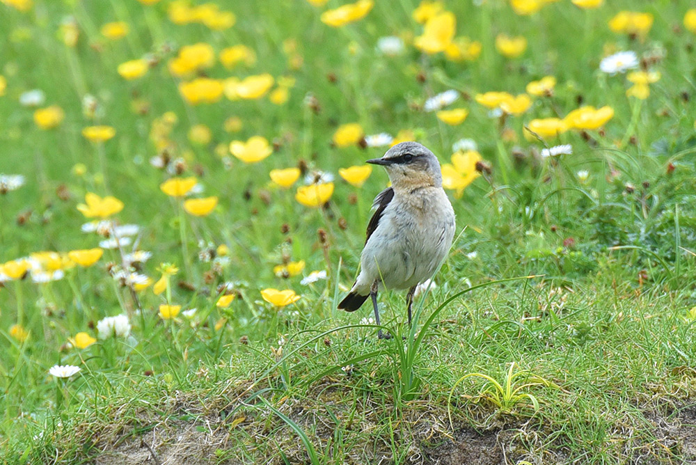 Picture of a Wheatear standing on the ground in a machair
