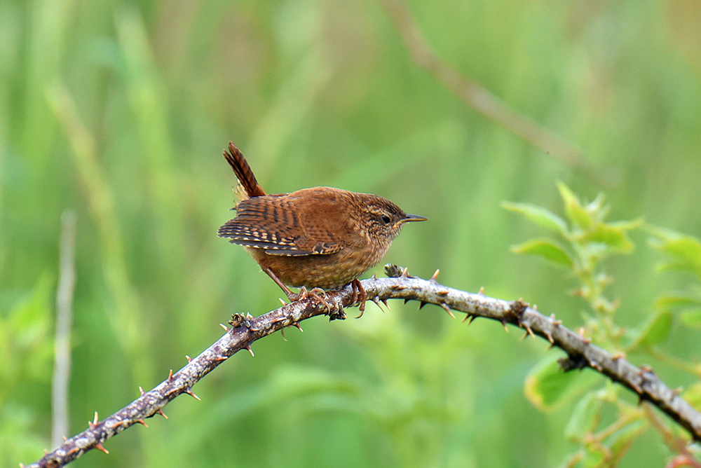 Picture of a Wren sitting on a branch