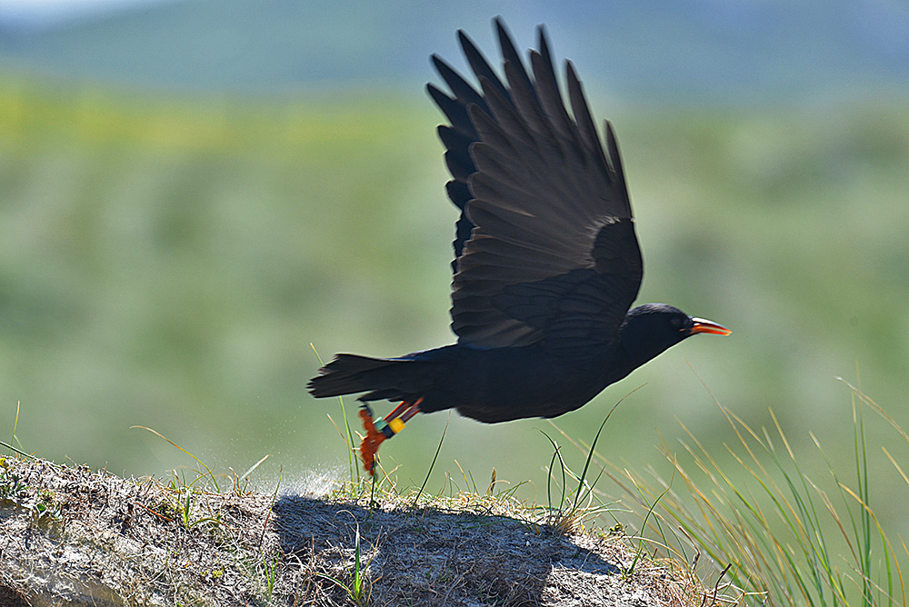 Picture of a Chough flying off from a sand dune