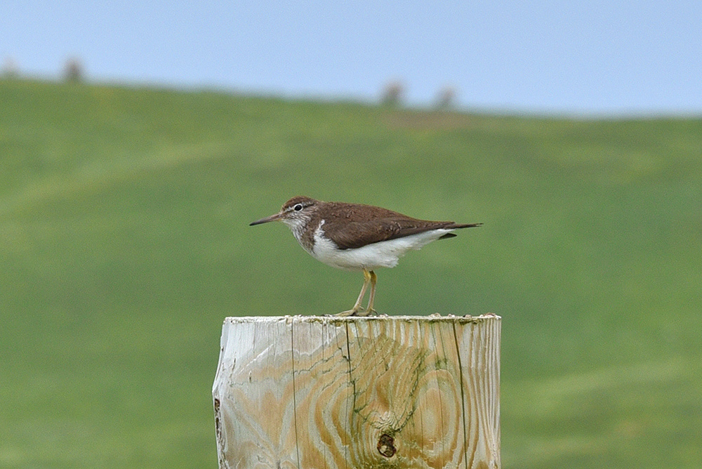 Picture of a Common Sandpiper on a fencepost