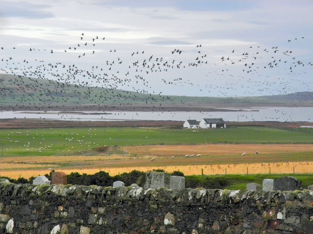 Picture of a large number of Barnacle Geese over a rural landscape with a loch (lake)