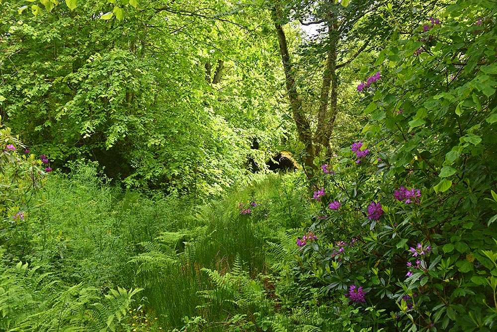 Picture of a green woodland with some purple rhododendrons mixed in
