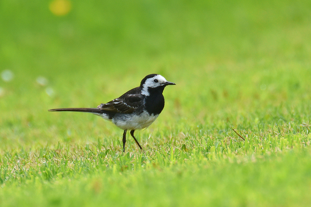 Picture of a Pied Wagtail on a green lawn