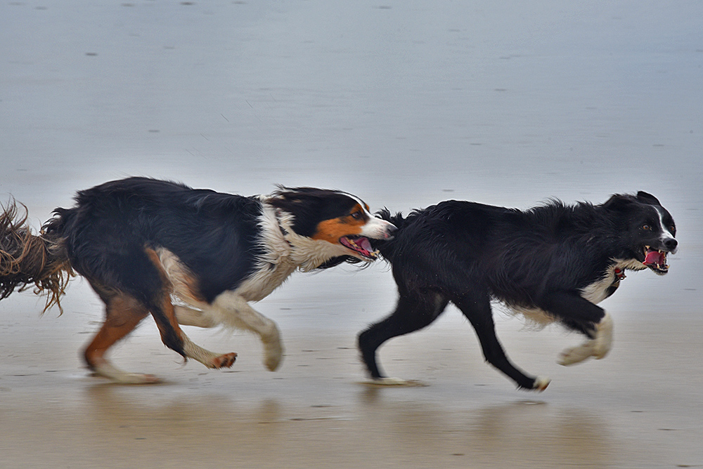 Picture of two dogs running on a beach