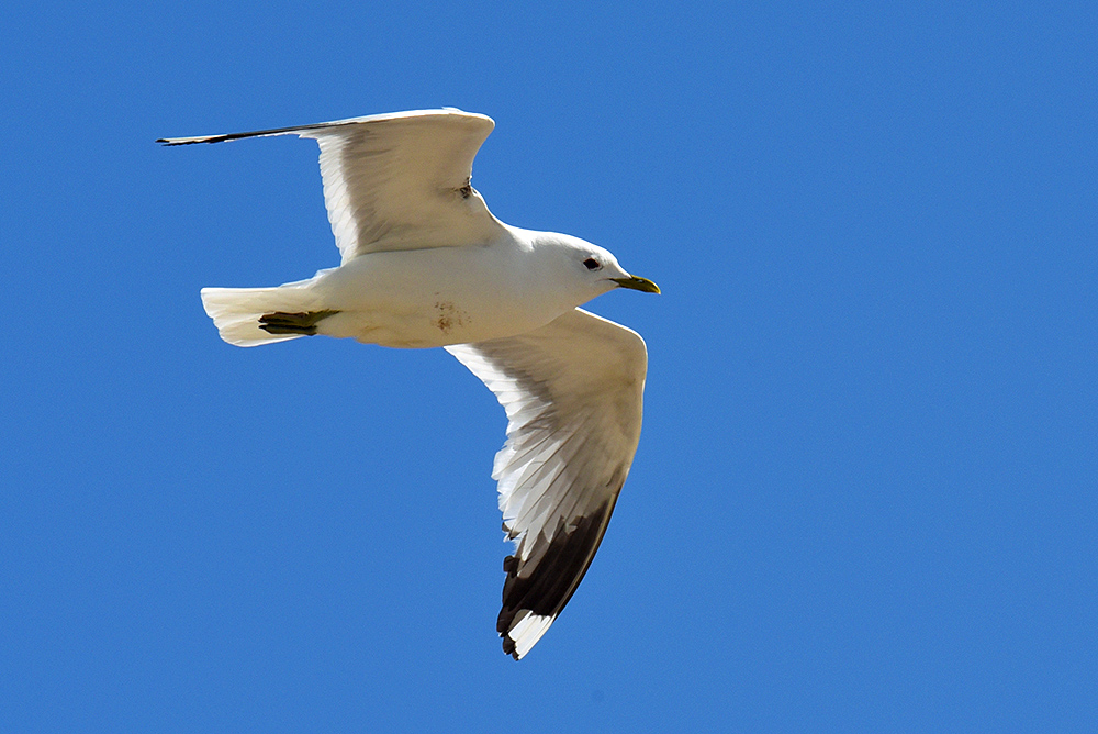 Picture of a Common Gull in flight under a blue sky