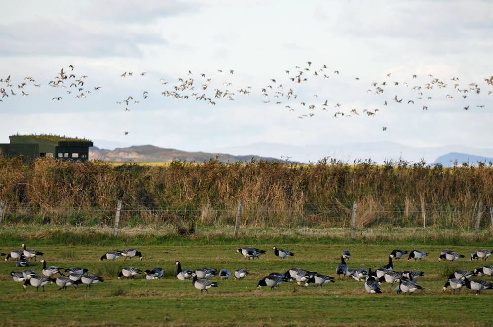 Picture of Barnacle Geese in a field, a bird hide in the background