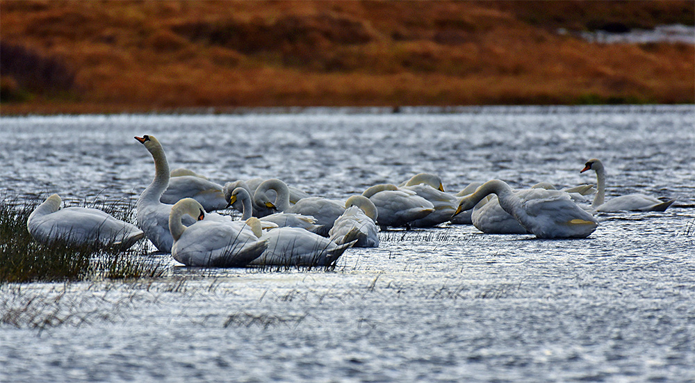 Picture of a group of Swans huddled together at the edge of a loch (lake)