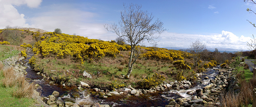 Panoramic picture of gorse in bloom along a burn (stream)