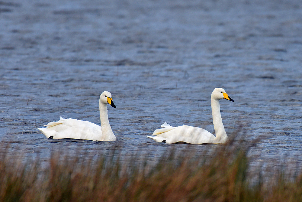 Picture of two Whooper Swans on a loch (lake)