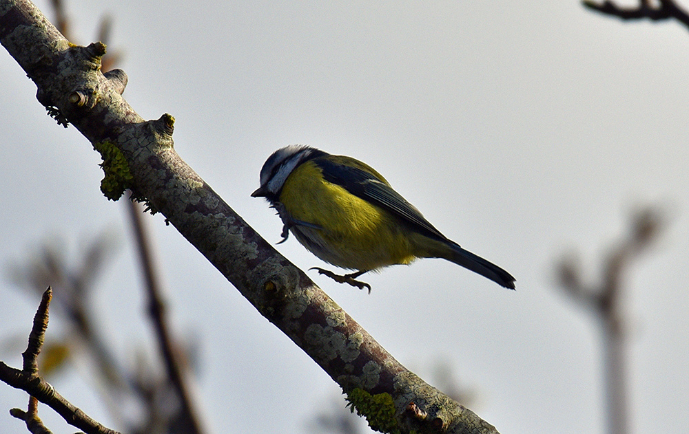 Picture of a Blue Tit hopping along a branch