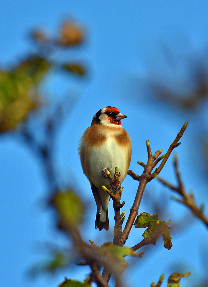 Picture of a Goldfinch sitting in a tree