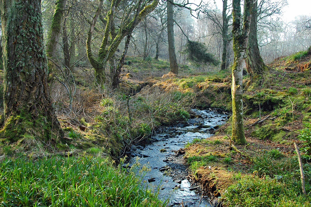 Picture of a burn (stream) flowing through old woodlands