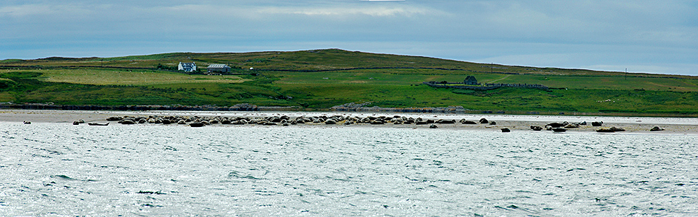 Panoramic picture of a large number of Seals resting on a sandbank in a sea loch