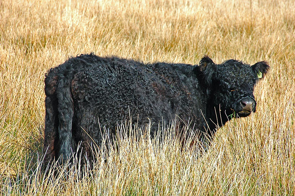 Black calf at Knockdon, Isle of Islay