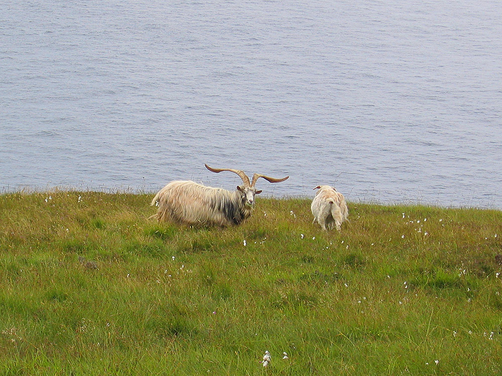 Goats on the Oa high above the sea, Isle of Islay