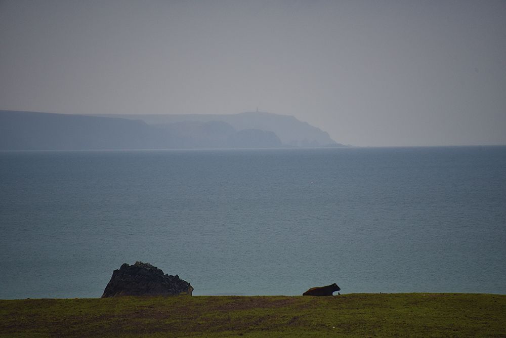 Picture of the cow resting above a shore, looking over the sea to a peninsula