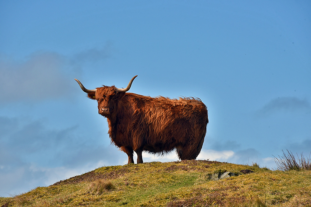 Picture of a highland cow on a hillock