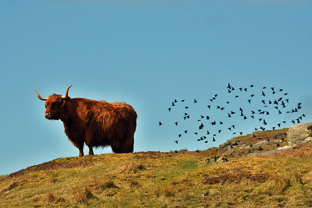 Picture of a Highland Cow on a hill with a small murmuration of Starlings flying past