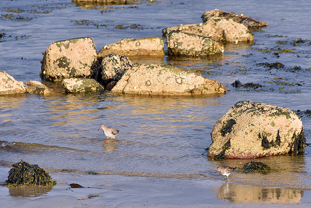 Redshank at the Bruichladdich shore, Isle of Islay